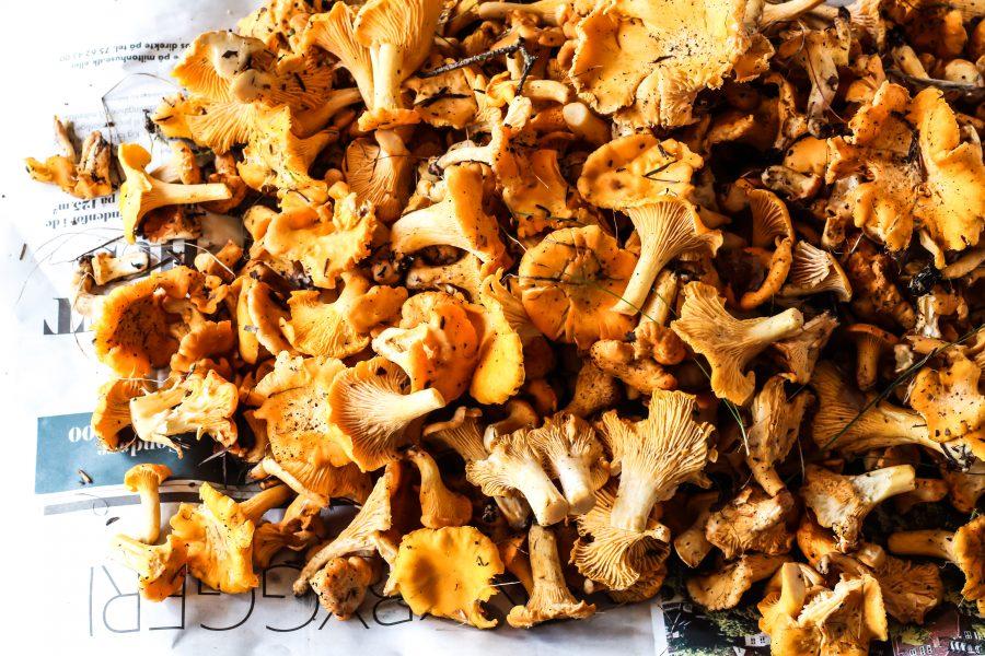 Kantareller i fløde (og cognac) – serveret på ristet brød